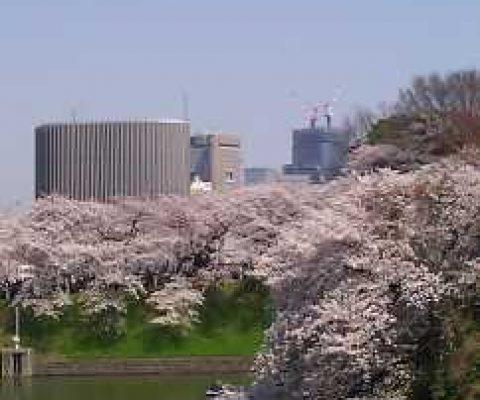 The Disruption and Renewal of Sakura