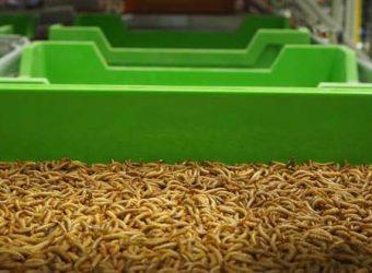 Ynsect, l'agri-tech qui nourrit vos animaux… avec des insectes